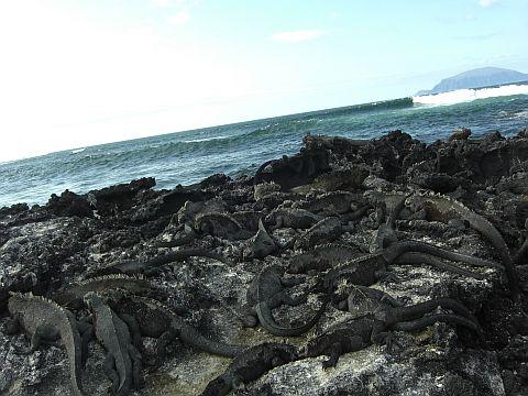Meerleguane auf Fernandina