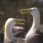 AlbatrosseaufGalapagos_abcd-480-3639