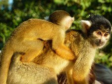 Viventura  Spider Monkey with Baby- taken